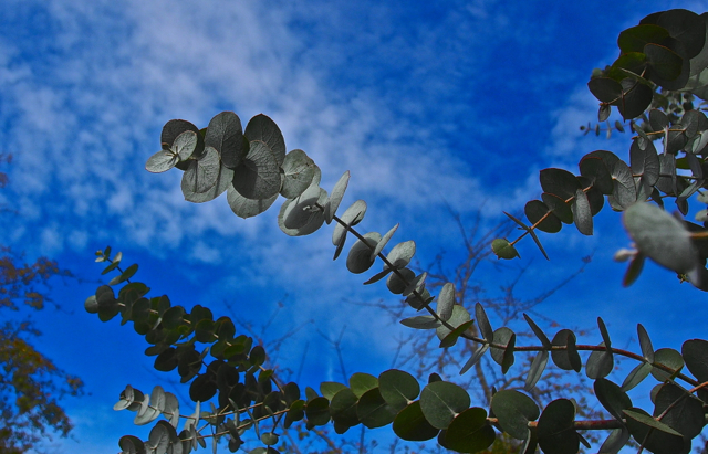 Eucalyptus Reaching For the Sky