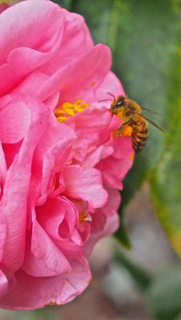 Camelia And Honey Bee
