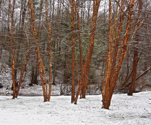 River Birch in Snow