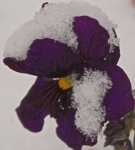 Pansy...Defiant...in the Snow