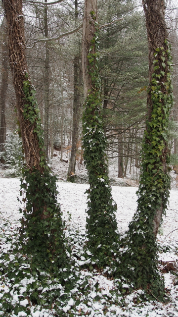Three VIne-Entwined Sisters in the Snow