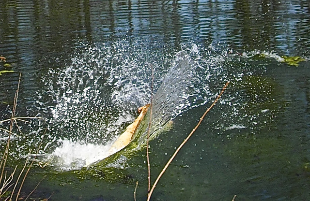 Splash!  Very Big Splash!