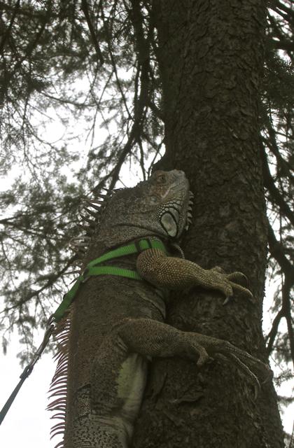 Tree Climber Extraordinaire