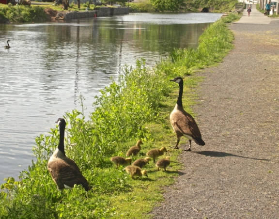 Mother and Father Goose with foraging Goslings
