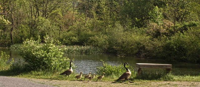 Another Goose Family on Parade