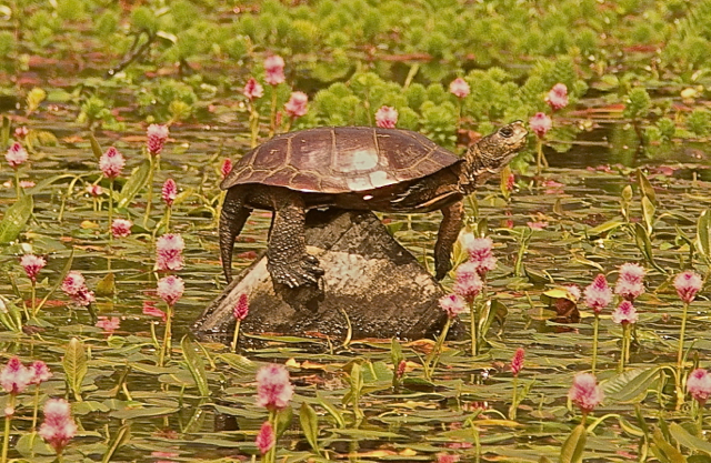 Turtle on a Pyramid