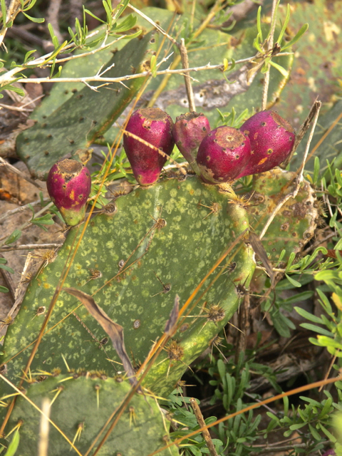 Cactus Pears in the forest