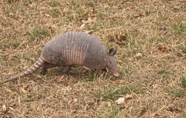 It's the very first live Armadillo I have ever met!!!