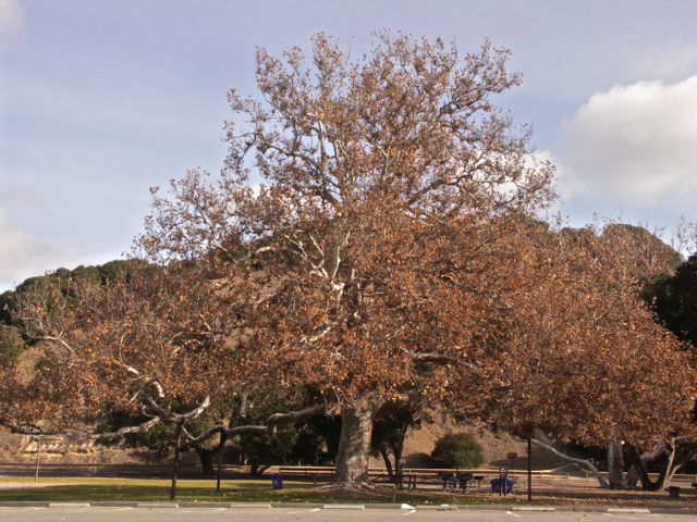 Sycamore Tree in Toro Park
