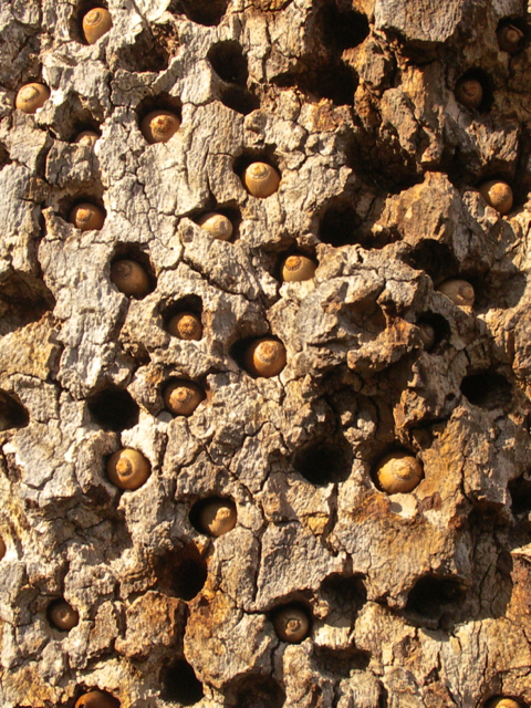 Acorns embedded in the Sycamore tree