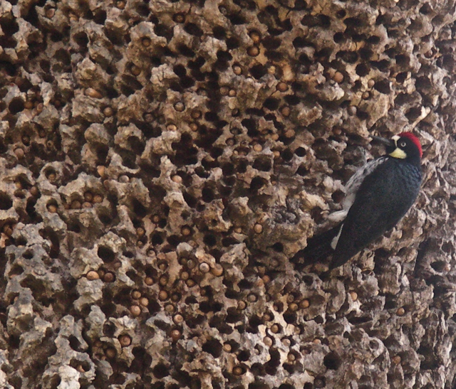 The Acorn Woodpecker guarding its cache