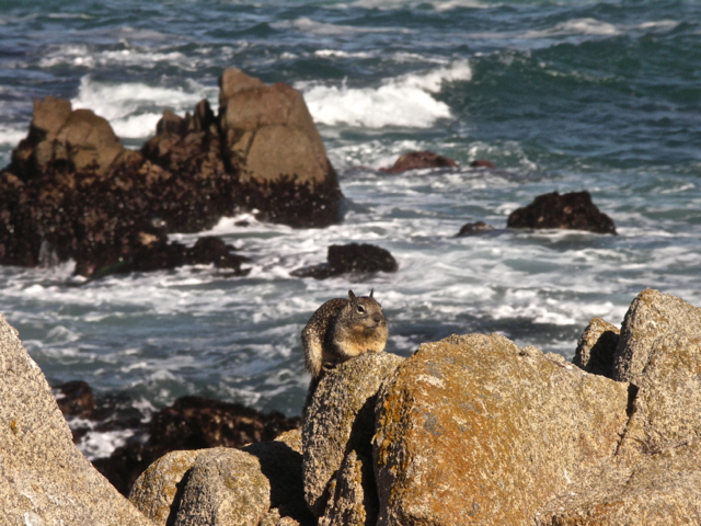 Squirrel at Asilomar