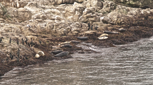Cormorants and Seals on Bird Island