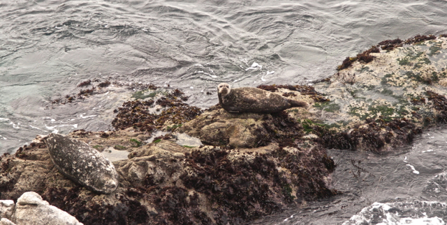 Rock Camouflaged Seals