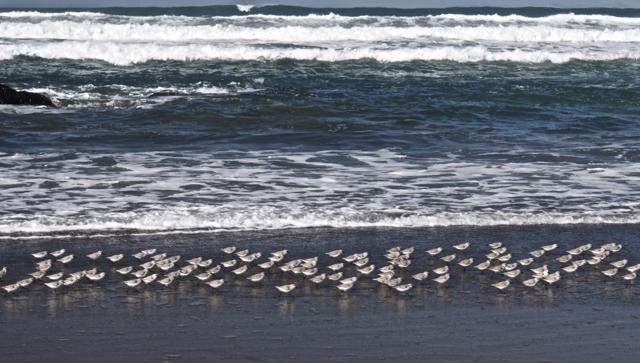 Sand Pipers Foraging