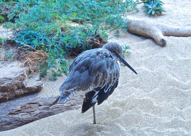 Sleepy Shorebird Resting on One Leg
