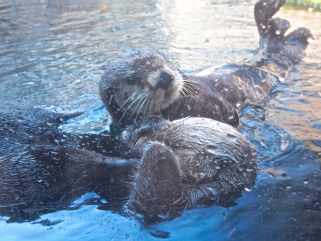 Little Fuzzy Head Otters! The only mammals at the Aquarium