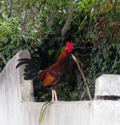 Roaming Town Rooster
