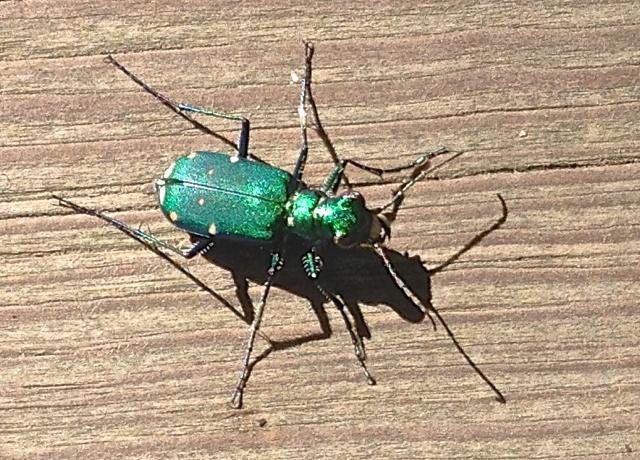 Beautiful Boardwalk Bug