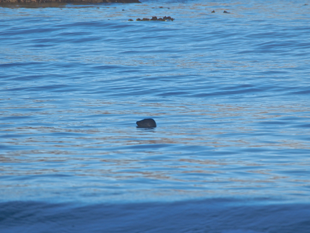 Young Seal popping up for a breather while fishing
