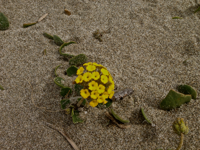 Beach flowers, Lollybobs (maybe)
