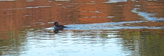 Little BuffleHead Duck Swims in the Quiet Lagoon