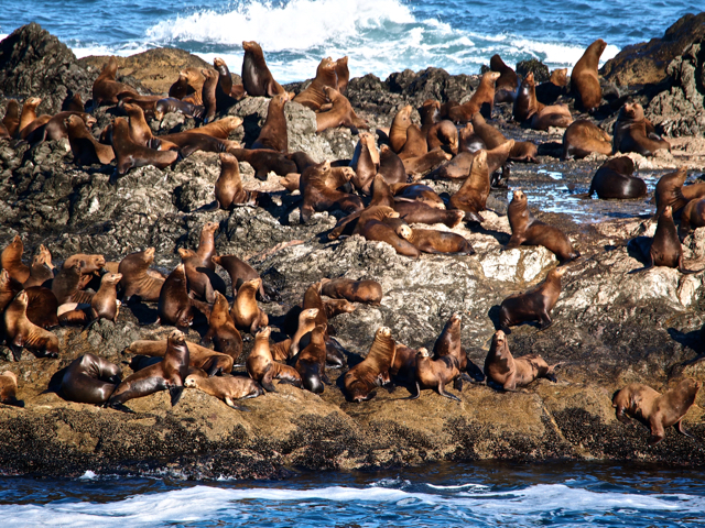 Sea Lions On Sea Lion Rock