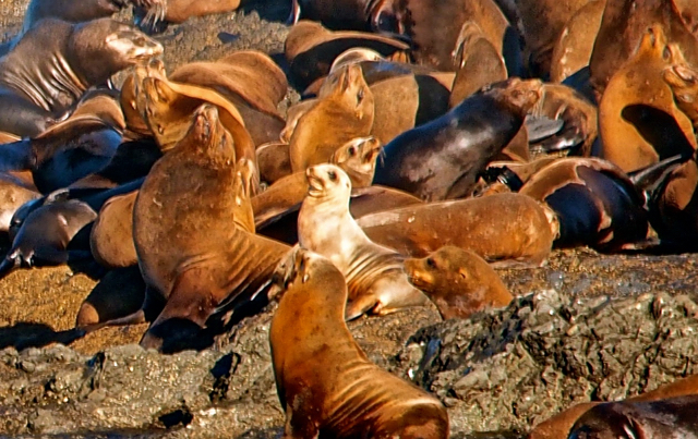 Rare Albino Sea Lion Surrounded By Family