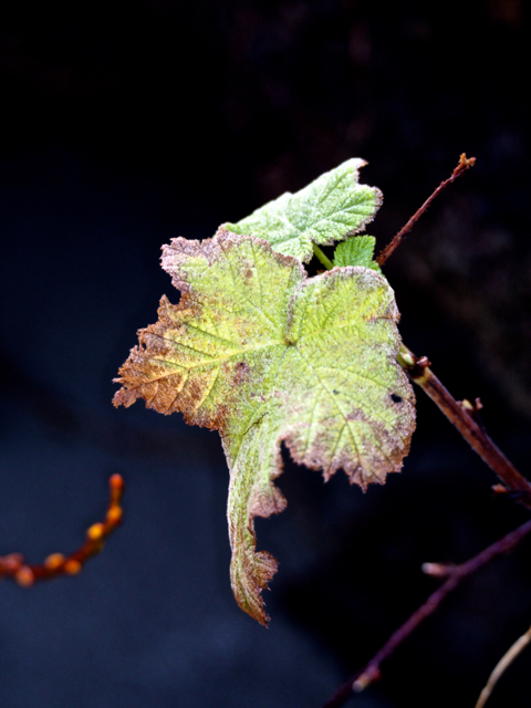 New grape vine spring shoots