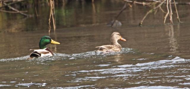 Mallard pair in Wages Creek (which flows thru the campground)