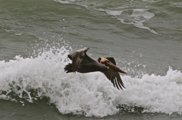 Sure looks like a Pelican