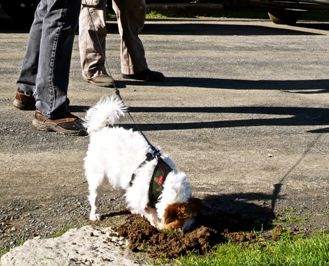 Molly Dog ~ dirt snorkeling for voles.